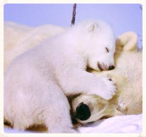 Polar bears, hibernating very briefly - as we humans usually do.